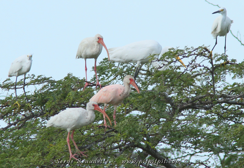 Ici, on voit un ibis rosé. On a cherché à savoir si c'était un Ibis rouge plus pâle, ou un individu blanc croisé avec un rouge, mais on n'a pas trouvé de réponse...