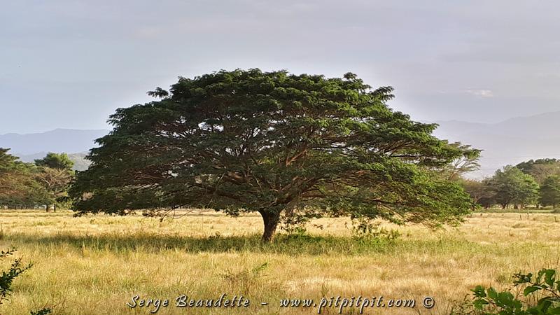 J'aime particulièrement cet arbre majestueux, et je ne suis pas le seul; les animaux s'y réfugient souvent pour profiter de l'ombre qu'il projette.