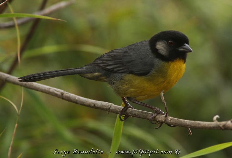 Un autre endémique, le Tohi de Santa Marta.