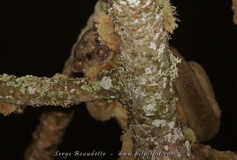 Nous avons encore tenté de voir le hibou temporairement appelé le Petit-Duc de Santa Marta, en vain. Comme à chaque année, nous l'entendons, mais ne parvenons pas à le voir! Comme prix de consolation, nous avons eu la chance de voir un un beau mammifère nocturne, le Kinkajou!