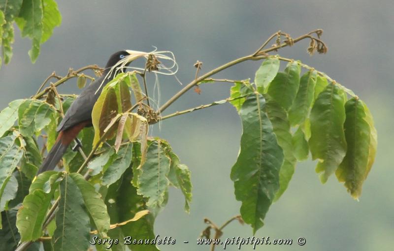 Ici, nous voyons un Cassique (l'Oropendula, que nous avons vu hier) en train de faire son nid.