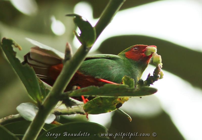 Ici, nous voyons un Tangara de Rieffer, l'un des 17 petits tangaras et callistes colorés que nous verrons dans la journée!! On l'appelle aussi, entre nous, le Tangara de Noël, vu ses couleurs! Bien qu'il soit petit, il est plus gros que les autres de sa famille, et il impressionne beaucoup par ses couleurs!