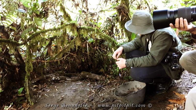 Bon! Voilà l'explication du « pourquoi » cette sortie est si EXTRAORDINAIRE! Les grallaires, c'est un groupe d'oiseaux qui ont tous la même silhouette mais des tailles et couleurs différentes… Mais, surtout, elles ont toutes en commun qu'elles sont presque impossibles à voir en nature!!! Tellement discrètes que notre guide du Costa Rica dit chaque fois aux voyageurs qu'il offre un voyage à Madagascar à toute personne qui prendra une photo reconnaissable de la Grallaire chanteuse, pendant qu'on est là à l'entendre partout autour de nous, et parfois de très près… Je vous présente tout de suite les quatre grallaires que nous avons vues, dont deux espèces étaient nouvelles pour moi! Je poursuis également les explications...