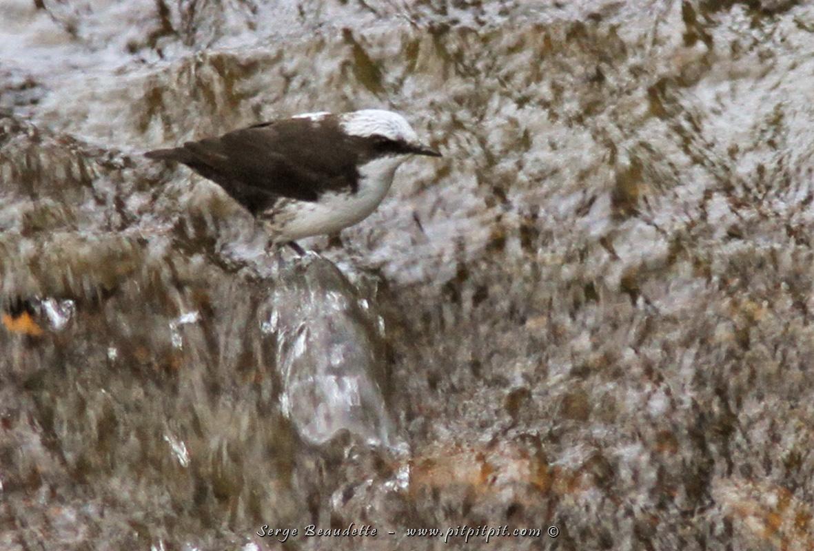 On a aussi eu la chance d'observer un Cincle à tête blanche. Un tout petit oiseau qui entre sa tête dans l'eau, saute dans le courant et nage sous l'eau pour s'alimenter de larves aquatiques… Imaginez un merle aller sous l'eau dans un ruisseau à fort débit! …Notre cerveau, sorti de ses repères habituels, fait des « flammèches »!