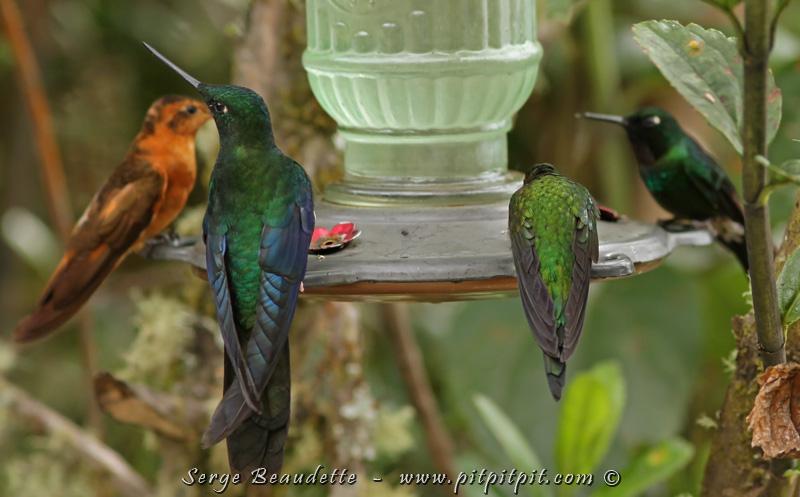 On a ensuite visité un endroit où se trouvaient beaucoup de colibris! Sur cet abreuvoir, on voit quatre espèces différentes de colibris!