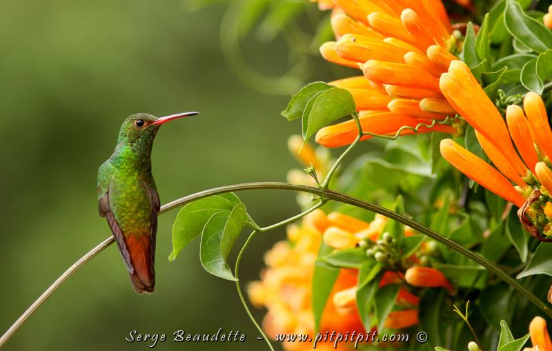 Parmi les espèces plus communes de colibris, on trouve l'Ariane à ventre gris, qu'on voit ici.