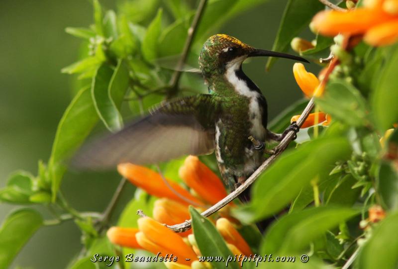 Puis, un autre lifer pour moi... Le Mango à cravate noire! On voit ici la femelle, avec sa belle cravate bien apparente!