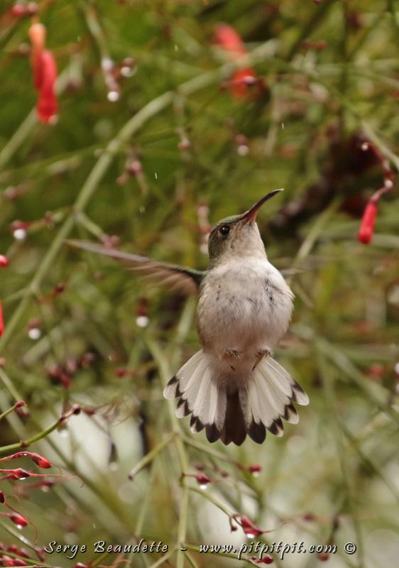 Femelle Colibri à tête cuivrée (1 des 3 endémiques du Costa Rica!)