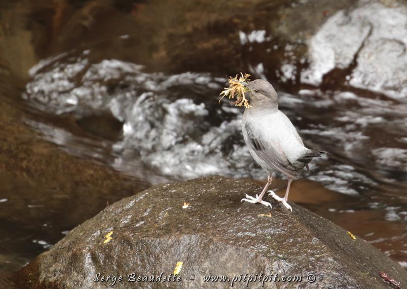 Cincle d'Amérique (vous vous souvenez? L'oiseau qui nage sous l'eau!!!)