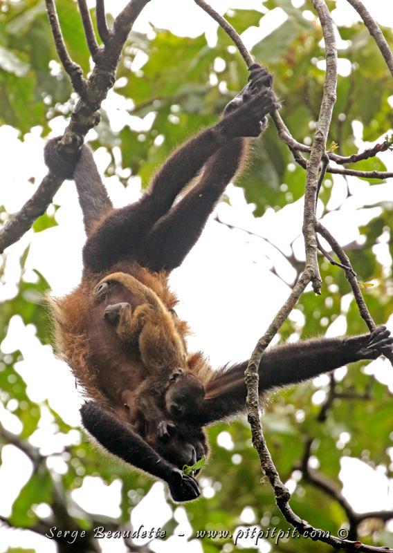 """""""Une"""" Singe araignée... avec son BÉBÉ aussi!!! (Un singe qu'on ne voit pas souvent... avec son bébé en plus... Wow!)"""