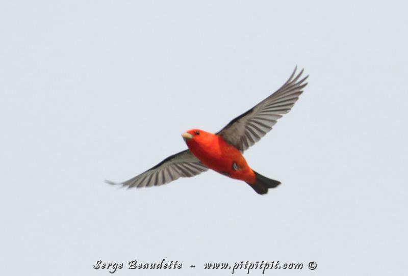 Piranga écarlate: vu à plusieurs reprises... et des dizaines d'individus le même jour, en migration, et photographiables en vol!