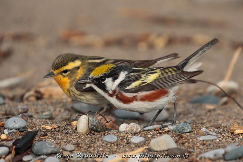 Paruline à flancs marron et à gorge orangée(!): qui se côtoient en migration... alors qu'en nidification, une est associée à la forêt de feuillus et l'autre, aux conifères.