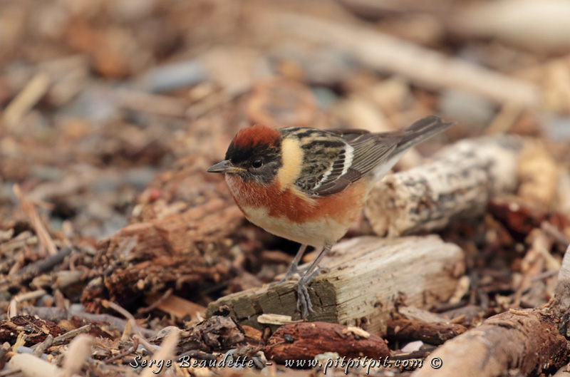 Paruline à poitrine baie: espèce un peu moins commune... boréale... vue par centaines cette année! Au sol aussi plutôt qu'en canopé!