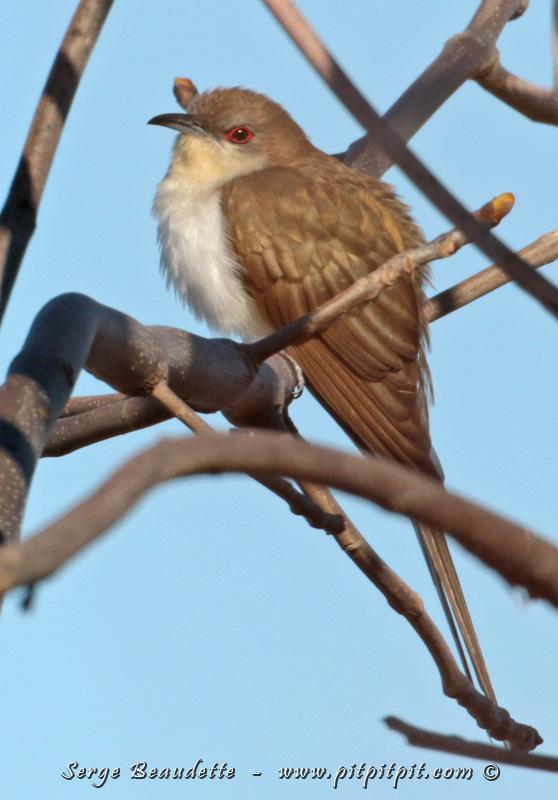 Coulicou à bec noir: oiseau pas commun du tout, et beaucoup plus souvent entendu que vu... mais ici, à découvert pendant plus d'une demi-journée!!!
