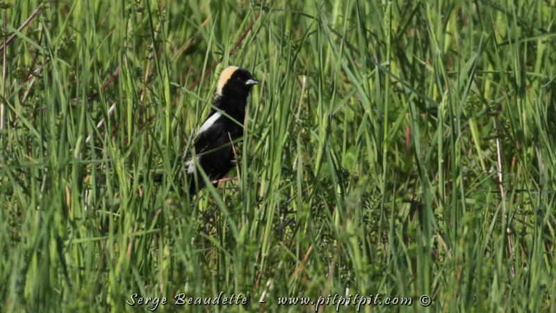 Le Goglu des prés est de plus en plus rare dans nos champs...