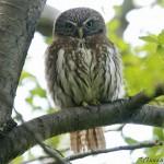 Austral_Pygmy_Owl