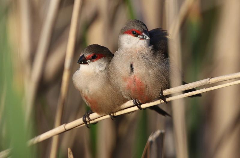 Quel oiseau extraordinaire!!! (Astrild ondulé)