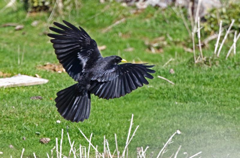 """2 oiseaux """"noirs"""" originaux: le Chocard à bec jaune, qui est un oiseau qui fait une migration bien spéciale que l'on appelle la migration altitudinale. Au lieu de partir du nord pour aller vers le sud quand le climat se refroidi à l'automne, lui, il descend la montagne! 100 mètres d'altitudes pour la végétation et le climat est à peu près équivalent à 1000 km de distance sur un axe nord-sud!"""