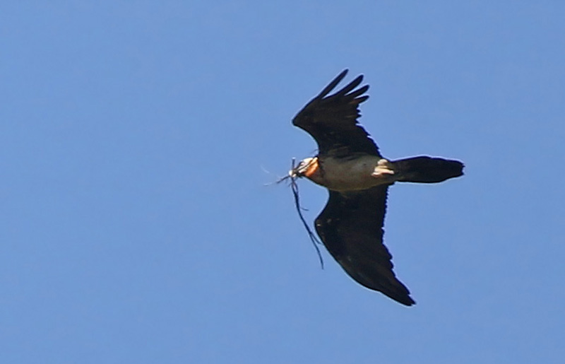 """Mais la GROSSE """"CIBLE"""" de ce voyage, c'était le plus lourd oiseau volant du Monde, une espèce très rare et menacées... l'oiseau qui lance des os sur le sol pour les casser et manger la moelle: le très très attendu et improbable Gyapète barbu!!!!!"""