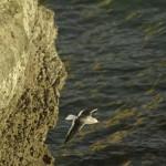 Dolphin_Gull_Peninsula_de_Valdez_Xavier_Amigo_493-2