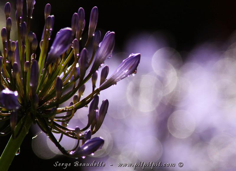 ...Je n'ai pu me retenir de mettre 3 prises de vue différentes de cette même fleur tellement j'ai été impressionné par la magie des étincelles avec le mélange du fond qui m'a beaucoup touché! ...Je voulais vous partager mon émerveillement pour cette synchronicité des éléments qui s'allient pour co-créer une oeuvre aussi resplendissante!!!
