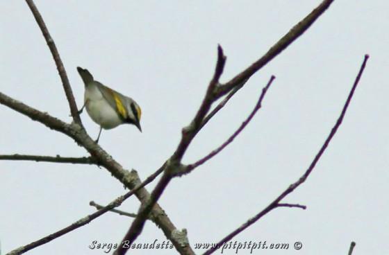 """C'est qu'elle s'hybride avec la Paruline à ailes bleue, et donne 2 hybrides qui ne sont pas considérées comme des espèces à part entière... donc, qui ne comptent pas pour le Grand Défi... Nous avons entendu 3 individus, mais à très forte distance... Comme il était impossible de voir l'oiseau, et que le chant est le même pour l'aile dorée ou son hybride, nous ne pouvions pas être assurés que c'était la Ailes dorées... même si, statistiquement, sur 3 individus qui chantent, les chances qu'il y ait une ailes dorées sont de 99,999%!!! Nous avons passé beaucoup de temps à tenter de la voir de loin, et il était difficile de s'en aller en renonçant à la voir... Nous étions sur le point de partir et... elle s'est remise à chanter... un peu plus près cette fois... et! Nous l'avons VU!!! Confirmé! J'ai pu prendre cette photo médiocre en guise de """"preuve""""!"""