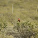 Long-tailed_Meadowlark_Peninsula_de_Valdez_Xavier_Amigo_787-2