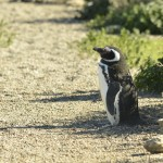 Magellanic_Penguin_Peninsula_de_Valdez_Xavier_Amigo_374-2