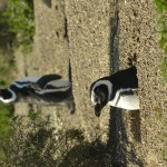 Magellanic_Penguin_Peninsula_de_Valdez_Xavier_Amigo_418-2