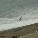 Southern_Giant-Petrel_Peninsula_de_Valdez-Xavier_Amigo-53-2