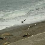 Southern_Giant-Petrel_Peninsula_de_Valdez_Xavier_Amigo_58-2